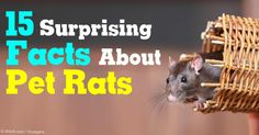 Learn these interesting facts about pet rats and why they make good pocket pets for responsible kids. http://healthypets.mercola.com/sites/healthypets/archive/2011/04/07/surprising-facts-about-pet-rats.aspx
