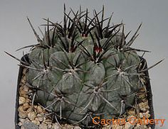 Pyrrhocactus paucicostatus Cactus Gallery