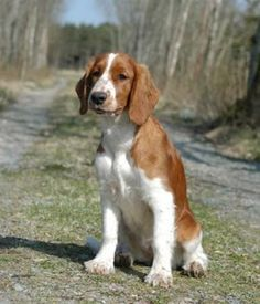 Welsh Springer Spaniel Pup ~ Classic Look Welsh Springer Spaniel, Cocker Spaniel, Cute Small Dogs, Cute Dogs, Dog Names Unique, Medium Dogs, Medium Dog Breeds, Rare Dog Breeds, Purebred Dogs