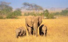 Lataa kuva Norsuja, Afrikka, norsu perhe, wildlife