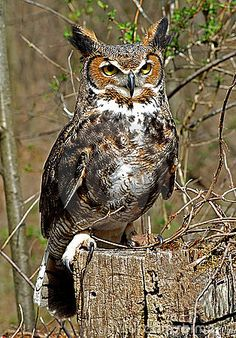 Photo about Close up of Great Horned Owl on tree stump. Image of bubo, great, looking - 8253915 Beautiful Owl, Animals Beautiful, Cute Animals, Owl Photos, Owl Pictures, Owl Bird, Pet Birds, Great Horned Owl, Tier Fotos