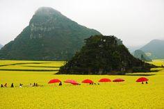 La provincia de Luoping (China), cambia su paisaje en primavera; debido a la floración de colza o canola. Con la semilla  de esta flor, preparan el aceite de colza o aceite de canola. vía tengasepresente.blogspot.com