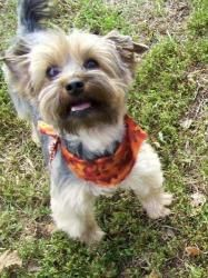 #Adopt Sue !! a cutie-patootie Yorkie / Yorkshire Terrier dog in #Riley #KANSAS -- click her pic -- she's available thru Home for Disposable Pets