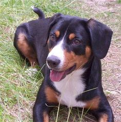 The Entlebucher Mountain Dog is a people-dog that loves to be surrounded by his people and friends. Alert and very eager to please, it was first used as a cattle driver; today it is used as a livestock guarder and a companion. The Entlebucher needs a firm, but calm, consistent pack leader who can properly communicate with the canine animal.
