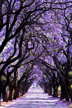 Jacaranda Tree Tunnel in Hyde Park, Sydney, Australia. Take a stroll and be blown away by the colour (only certain times of year though!)