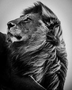 "Saatchi Online Artist Laurent Baheux; Photography, ""Lion always in the wind"" #art #GiftsForAnimalLovers"