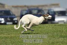 running greyhound - Google Search