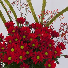 JustChrys - Range: Chrysanthemums in all colours, types and sizes!