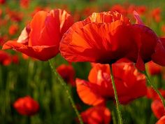 Spring Flowers Red Poppies - The red poppies (which were once used to create opium), are spring flowers, growing in wild in subtropical regi...