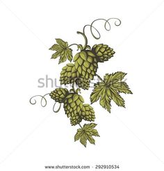 Hops vector visual graphic icon or logo, ideal for beer, stout, ale, lager, bitter labels & packaging etc. Hop is a herb plant which is used in the brewery of beer. Pixel perfect illustration.
