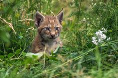 Little Lynx II by Friedhelm Peters on 500px