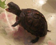 Baby Box Turtle