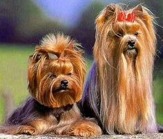 Receive wonderful ideas on Yorkshire Terriers. They are actually offered for you on our site. Perros Yorkshire Toy, Yorkshire Macho, Terrier Breeds, Terrier Dogs, Dog Breeds, Terrier Mix, Yorkshire Terrier Dog, Yorky Terrier, Yorkie Hairstyles