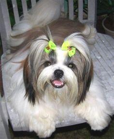 Shih-Tzu - Características da raça, fotos e vídeos » Cães Online