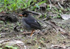Slaty-backed Nightingale-thrush Nightingale Bird, The Caged Bird Sings, Costa Rica Travel, Maya Angelou, Singing, Birds, Animals, Clouds, Animales