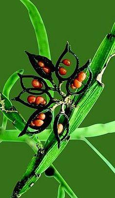 ✯ Seed pods of Carmichaelia Australis - New Zealand