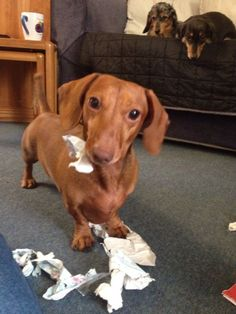 12 Dachshund Property Laws: if it was mine, so are all parts of it...