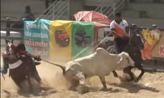 Bulls in Brazil need your voice! Please contact Brazilian officials and urge them to uphold the ban on vaquejada.
