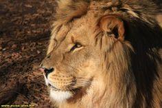 Lion au zoo de Saint Jean Cap Ferrat (06)