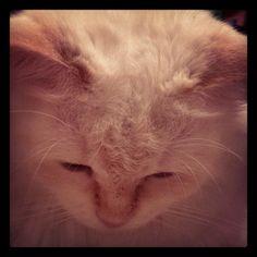 Dior #dior #siberiancat #cat