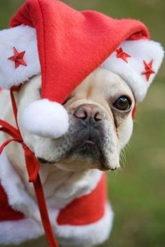 French Bulldog Puppy wearing a Santa Suit and Hat for Christmas ♥