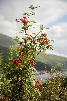 ROWAN TREE in Scotland