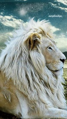 National Geographic Documentary The Rarest Animals On Earth. The white lion is a rare color mutation of the Timbavati area. White lions are the same as the t. Majestic Animals, Rare Animals, Animals And Pets, Lion Pictures, Animal Pictures, Lion Images, Nature Pictures, Big Cats, Cool Cats