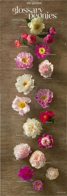 Nice photo-graphic on different varieties of peonies.