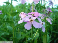 Hesperis matronalis - večernice vonná - medonosná