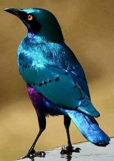 Blue eared glossy starling