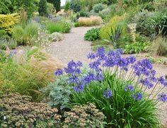 The Beth Chatto Gravel Garden. stunning Agapanthus w/sedum, stipa, gaura, eryngium, yucca, blue oat grass, calamagrostis, etc