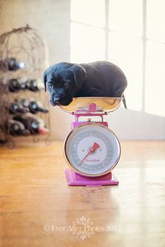 Cute black labrador puppy in a pink set of kitchen scales http://www.facebook.com/photo.php?fbid=586087764748052=pb.197766913580141.-2207520000.1372977906.=3
