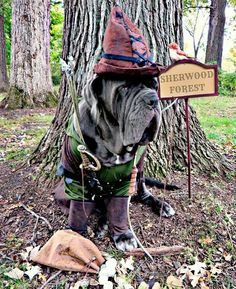 Rufio Hood is on look out! Neapolitan Mastiffs, Sherwood Forest, Funny Dog Pictures, Dog Costumes, Beautiful Babies, I Love Dogs, Funny Dogs, Photoshoot, Pets