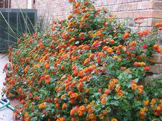 Texas Lantana Lantana Urticoides Common Names: Light: Full Sun