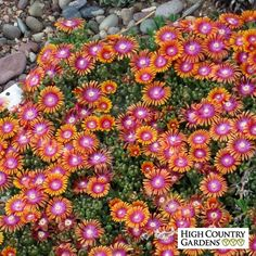 Delosperma Fire Spinner® has vibrant tri-colored flowers of orange,red and lavender that are unique in the world of perennial flowers. An evergreen groundcover, this ice plant blooms in late spring. A 2011 Plant Select winner. Unique Plants, Cool Plants, Evergreen Groundcover, High Country Gardens, Cactus, Succulent Landscaping, Yard Landscaping, Landscaping Ideas, Flowers