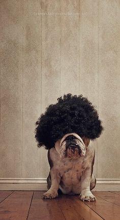 It's Ok - You Can Laugh. #funny #fun #lol #english #bulldog #englishbulldog #bulldogs #breed #dogs #pets #animals #dog #canine #pooch #bully #doggy #wig