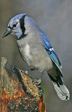 Blue Jay, Did you know you can train these birds to talk? You know, like you teach a parrot Friend or Foe? While many consider blue jays a pest, others can't get enough of this colorful flier. Learn how to attract blue jays to your yard, and listen to their song.