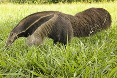 See wildlife in the Pantanal of Brazil. (this is a giant anteater).