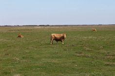 Genau hinsehen ;-)  So glücklich können Kühe in Dänemark sein!