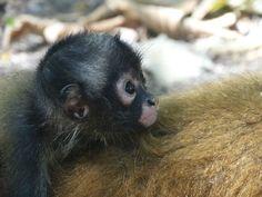 Baby Monkey, Jiquilisco Bay, El Salvador