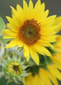 ☀Sun Flowers. Sunflowers by Whitevale Wonder*