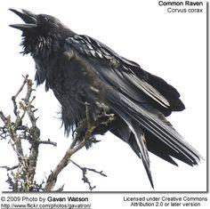 Common Raven calling - Gaven Watson