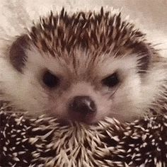 Angry hedgehog smiles after getting treat