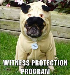 Funny Pug Dog Wearing Costume - Witness Protection Program