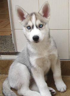 Siberian Husky ♡ Puppy