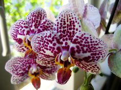 Thierry's orchidea