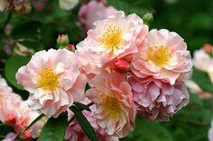 Rose 'Cornelia'