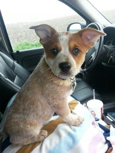 We didn't know our Red Heeler, Dingo when he was a puppy, but I imagine he looked just like this.