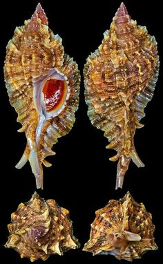 Naquetia barclayi (Reeve, 1858)  -  C.Chen ~~ For more:  - ✯ http://www.pinterest.com/PinFantasy/ciencia-~-conchas-y-f%C3%B3siles-shells-and-fossils/