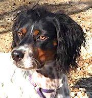 English Springer Spaniel Dog For Adoption In Shakopee Mn Adn